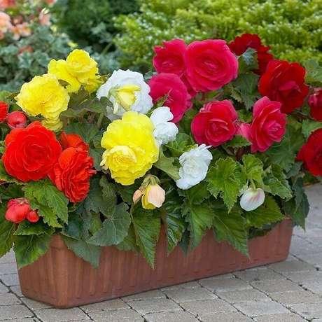 13- Para a begônia se desenvolver adequadamente, evite expor a planta ao vento. Fonte: J. Parker's