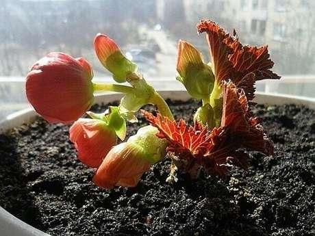 9- O vaso ideal de como cuidar de begônia deve ser grande o suficiente para garantir o desenvolvimento das raízes; Fonte: Ohiogas.info