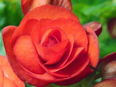 18- A flor begônia vermelha é muito sensível e não suporta mudanças bruscas de clima. Fonte: Lilian Miliauskas