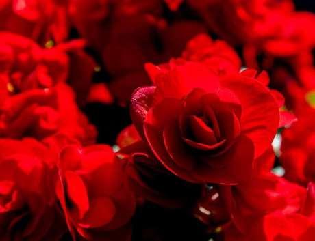 48- A begônia vermelha é uma planta que se destaca na decoração de jardim. Fonte: Pixabay