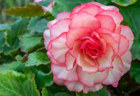 28- A begônia é uma planta ornamental de folhagem rústica. Fonte: Gardenia.net