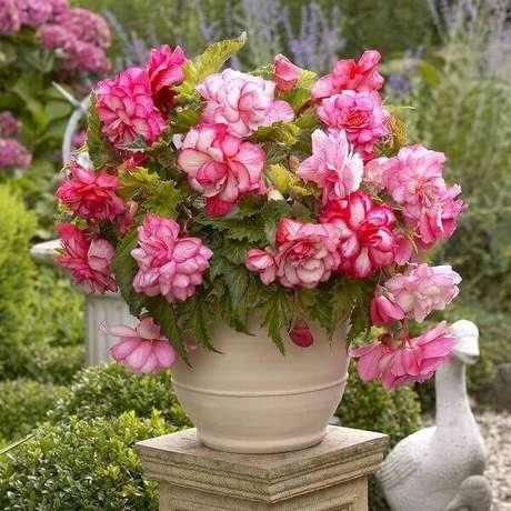 24- Os tipos de begônia mais indicados para vasos são a sarmentosa e a venosa. Fonte: Planta Sonya