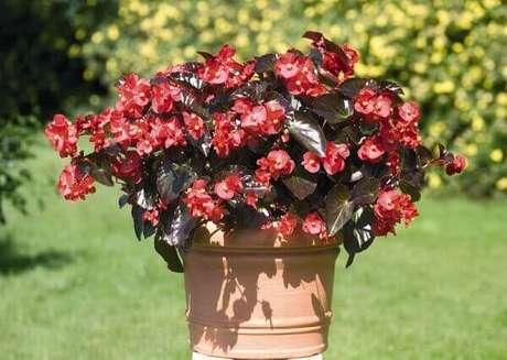 29- A begônia em vaso é ideal para decorar jardins para eventos. Fonte: Ohiogas.info