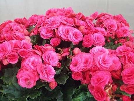 38- Para garantir uma floração longa, certifique-se que a begônia tenha pelo menos 9 horas de luz indireta. Fonte: Pinterest