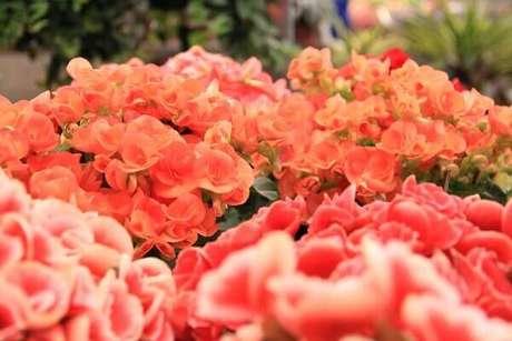 39- A begônia é usada em arranjos florais porque suas hastes são curtas e frágeis. Fonte: Pinterest