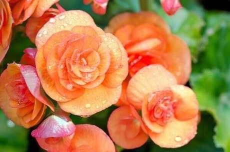 40- As begônias plantadas em vasos pode ser infestadas por cochonilhas. Fonte: Pinterest