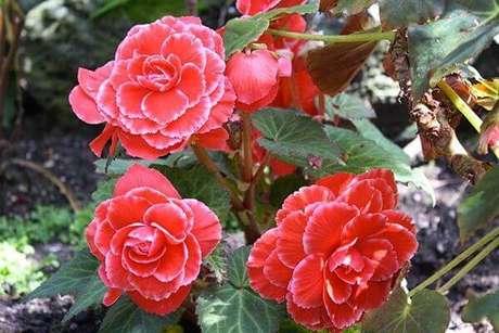 42- As begônias são plantas decorativas e de grande variedade. Fonte: Pinterest