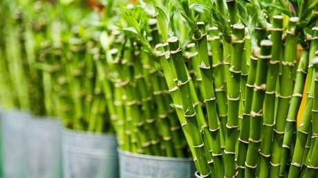 2. Bambu da sorte atrai prosperidade e boas energias. Fonte: Feng Shui Beginner