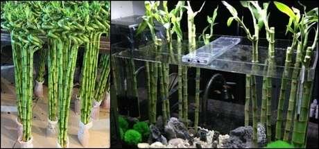 4. Bambu da sorte posicionado dentro do aquário. Fonte: Suki Desu