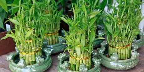 6. Diversos arranjos feitos com bambu da sorte. Fonte: Pinterest