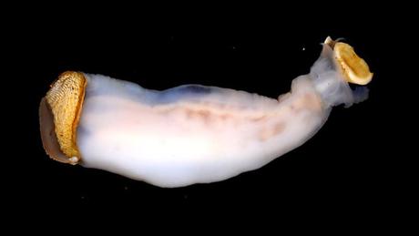 Embora para os cientistas o animal seja totalmente novo, os habitantes locais das Filipinas não apenas o conhecem como o comem