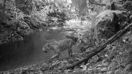 Os jaguares mantêm o equilíbrio do ecossistema, mantendo a população dos animais que eles caçam regulada