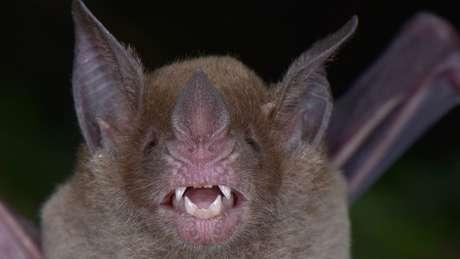 O morcego de cara pálida se alimenta de frutas e insetos