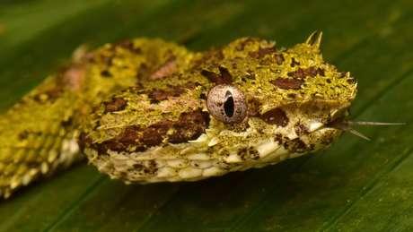 A cobra de pestana é muito venenosa - ela foi uma das identificadas por pesquisadores na área
