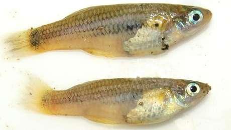 O pesquisadores acreditam que este peixe da espécie Molly nunca havia sido registrado