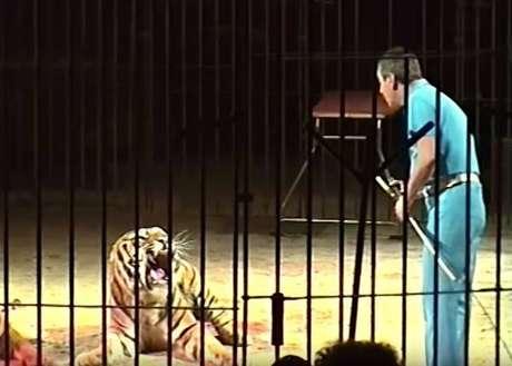 Domador de circo Orfei morre após ser atacado por 4 tigres