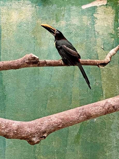 Araçari-castanho mutilado para que não pudesse voar recebeu implante de novas penas no Parque das Aves, em Foz do Iguaçu
