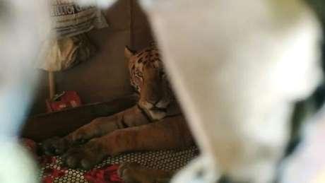 O dono da casa fugiu assim que viu a tigresa