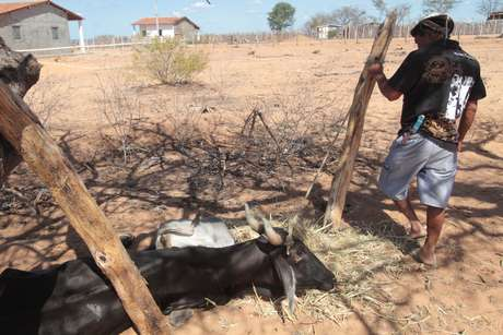 Produtor observa vaca agonizante devido à falta de água