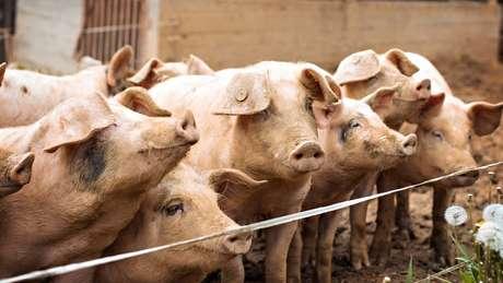 Alguns cientistas criticam a ideia de criar embriões híbridos de humanos e animais usando espécies evolutivamente distantes, como porcos