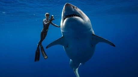 Um exemplar de tubarão branco com cerca de 6 metros de comprimento foi visto por mergulhadores em águas próximas ao Havaí