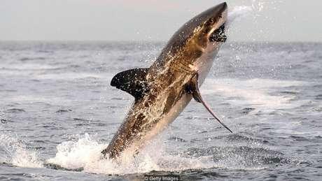 Os tubarões brancos geralmente atacam suas presas por baixo com uma mordida devastadora