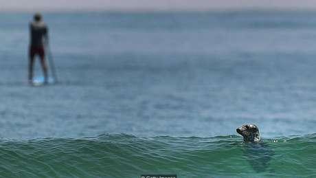 O ressurgimento de focas na costa leste dos EUA atraiu tubarões brancos para áreas populares entre os banhistas