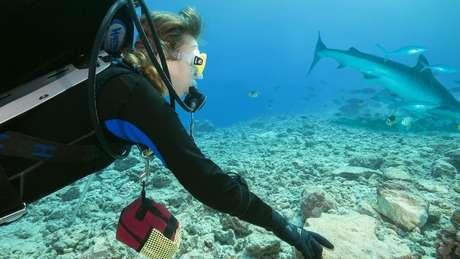 Embora os tubarões-tigre sejam uma das três principais espécies responsáveis pelos ataques a humanos, eles costumam ignorar as pessoas no oceano