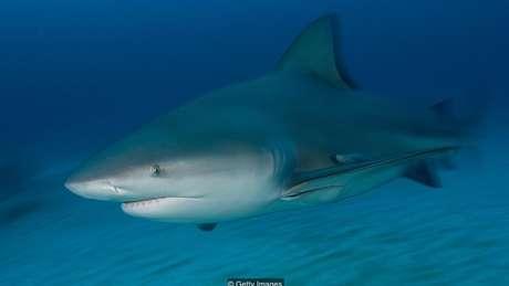 Os tubarões-touro são animais agressivos que costumam caçar na água com visibilidade reduzida