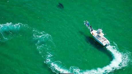 Dispositivos para rastrear tubarões brancos estão começando a fornecer dados sobre o comportamento desses predadores