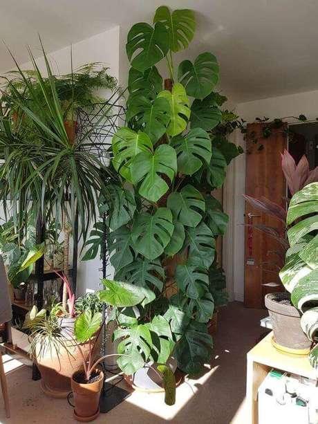 36. A Costela de Adão pode crescer de modo vertical e compor muito bem uma decoração. Foto: My Lush Life Style