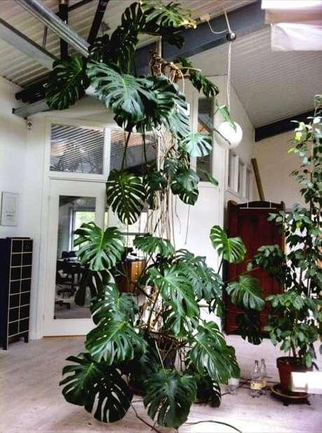 50. A Costela de Adão pode ganhar tamanho e ocupar toda uma viga. Foto: Pinterest