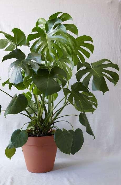 48.Um simples vaso de barro pode ser utilizado para a Costela de Adão. Foto: The Plant Hunter