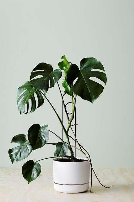 13. O verde da Costela de Adão combina com diferentes vasos. Foto: Gardeners Advice