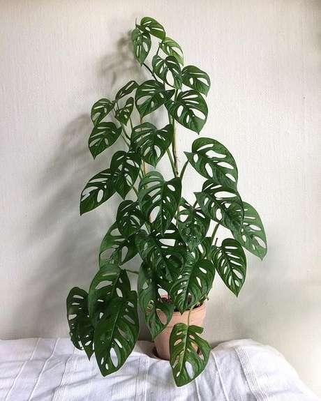 27. As folhas furadas da Costela de Adão são elementos que dão destaque à planta. Foto: Instagram