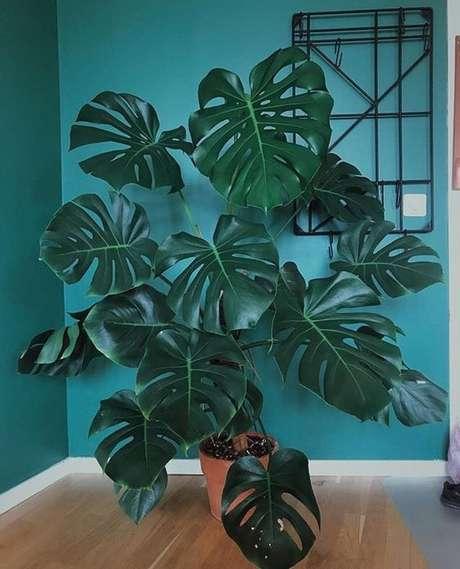 60. A Costela de Adão é boa para ambientes internos e externos. Foto: Pinterest