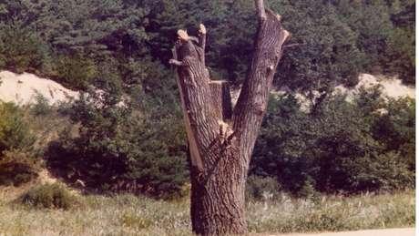 Engenheiros dos EUA podaram a árvore com motosserras, deixando apenas o tronco