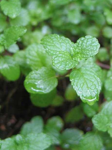 8. Uma hortelã é ótima opção para a horta em casa e para fazer chá nos dias frios