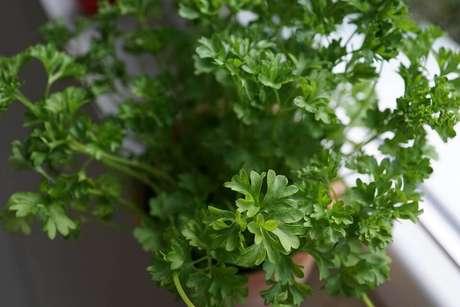 13. A salsa pode ser cultivada em sua horta em casa também