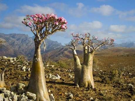 26. A árvore das rosas do deserto lembram muito os Baobás