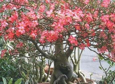 10. As rosas do deserto podem ser encontradas em diversas cores