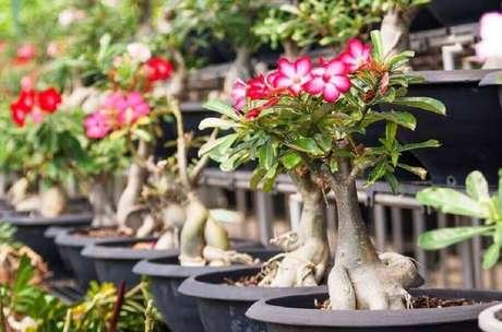 11. Vasos de plantas com rosas do deserto