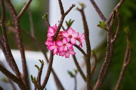 22. Rosas do deserto mudas são lindas para usar no jardim