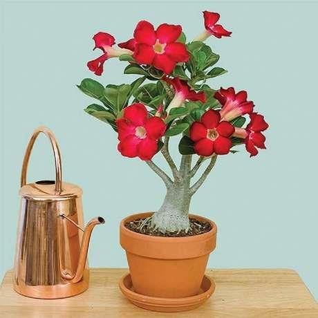 4. As rosas do deserto são plantas que precisam de bastante água para se desenvolver
