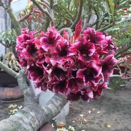 23. Rosas do deserto mudas