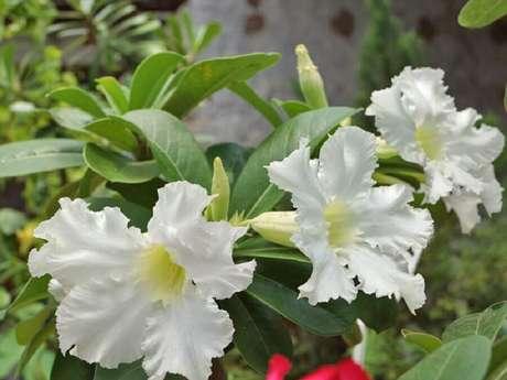 14. Rosas do deserto branca