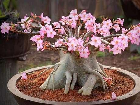 1. A rosa do deserto mudas são flores lindíssimas