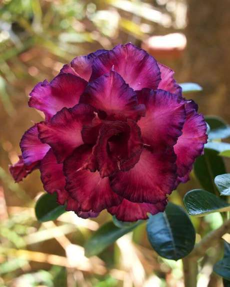 31. Rosa do deserto possuem colorações diferenciadas