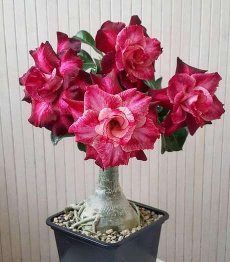 36. Rosa do deserto em tons de rosa e marsala