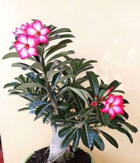 37. Rosa do deserto com folhagens
